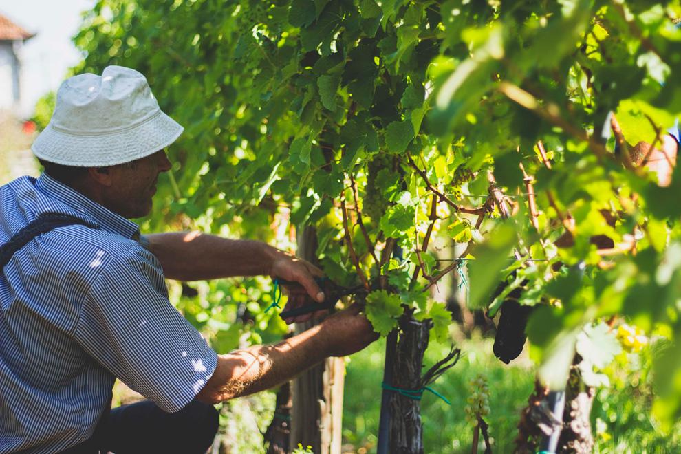 vinarija aleksandrović berba grožđa