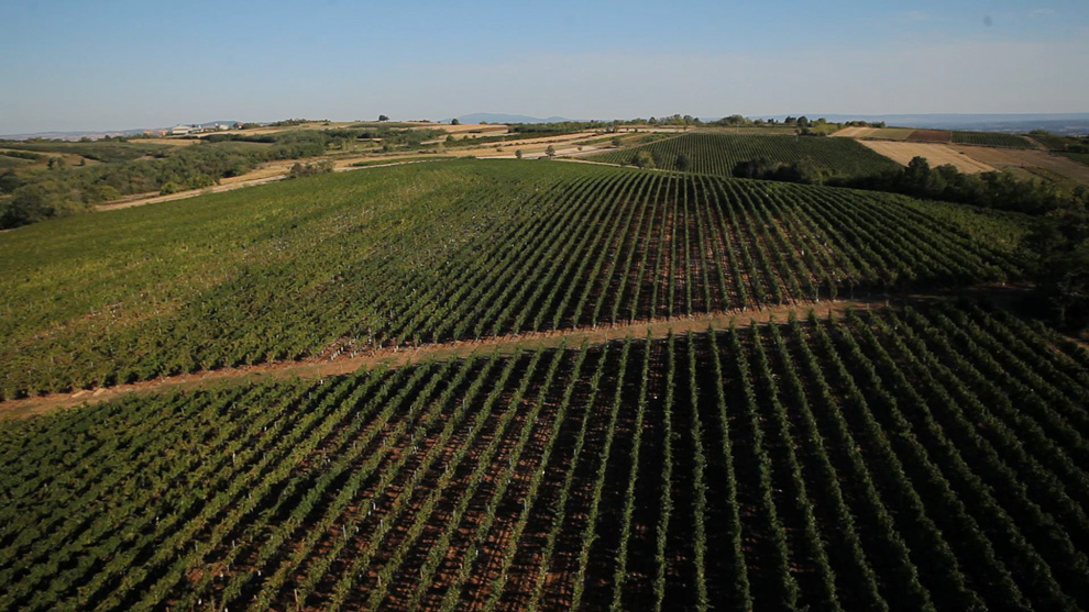 vinogradi i grožđe vinarije aleksandrović