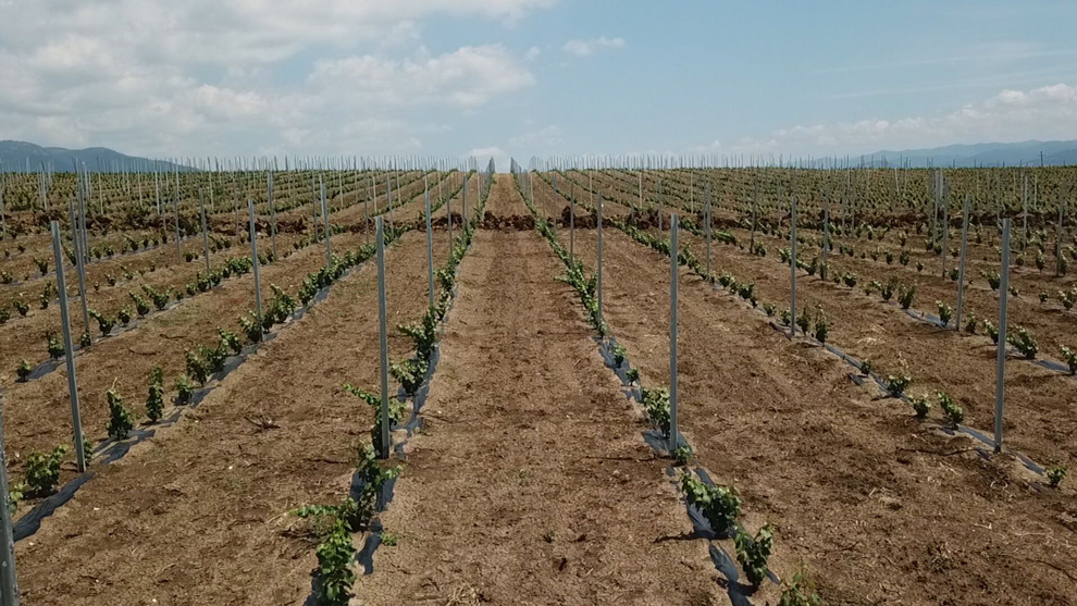 aleksic vinogradi