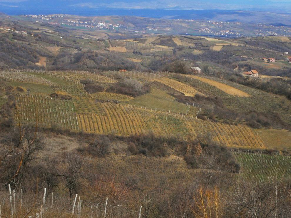 vinogradi vinarije cokot