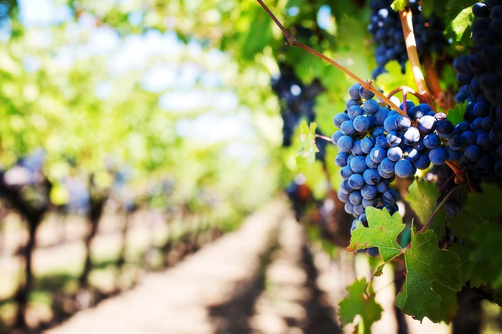 dan vina i vinogradarstva
