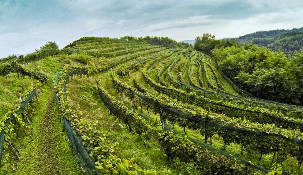 fantinel vinogradi vino