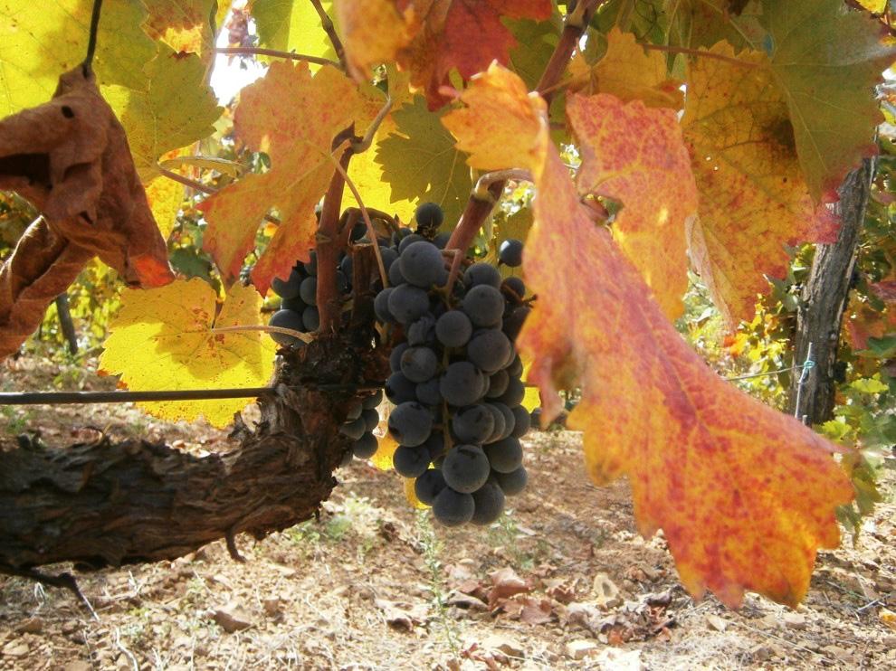 prokupac grozdje vinarije cokot