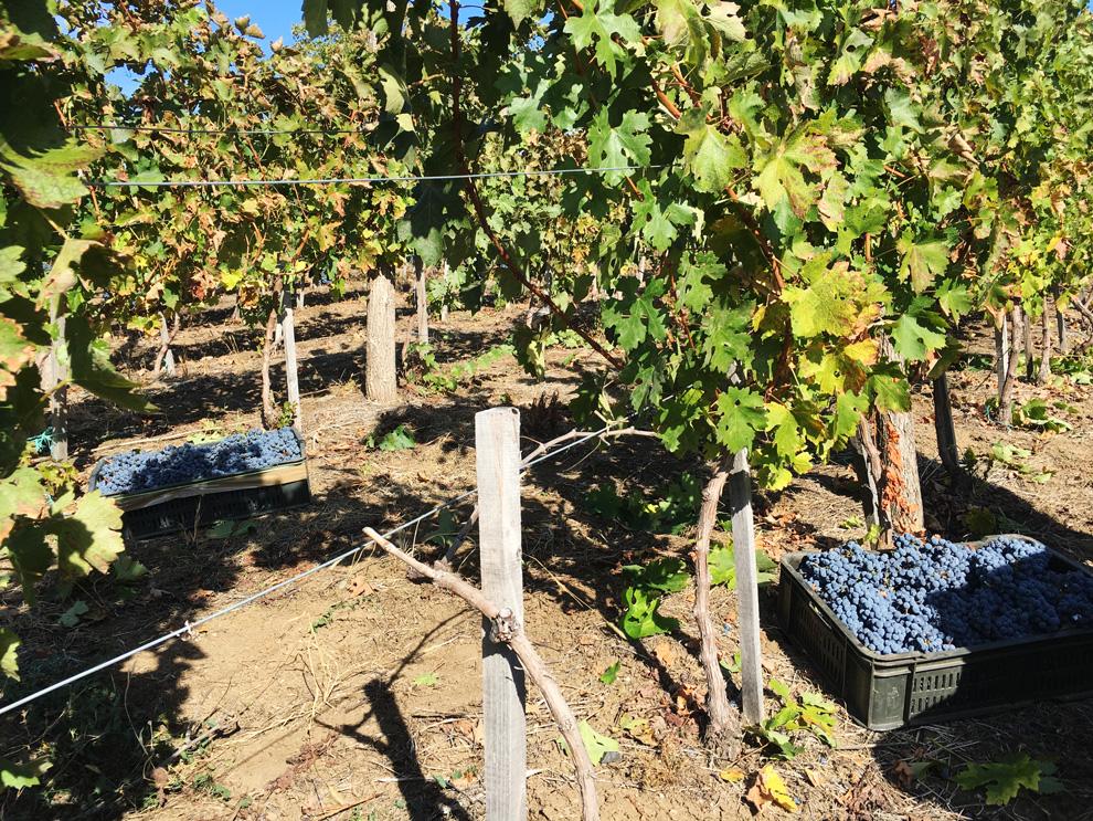 grožđe iz vinograda Yotta
