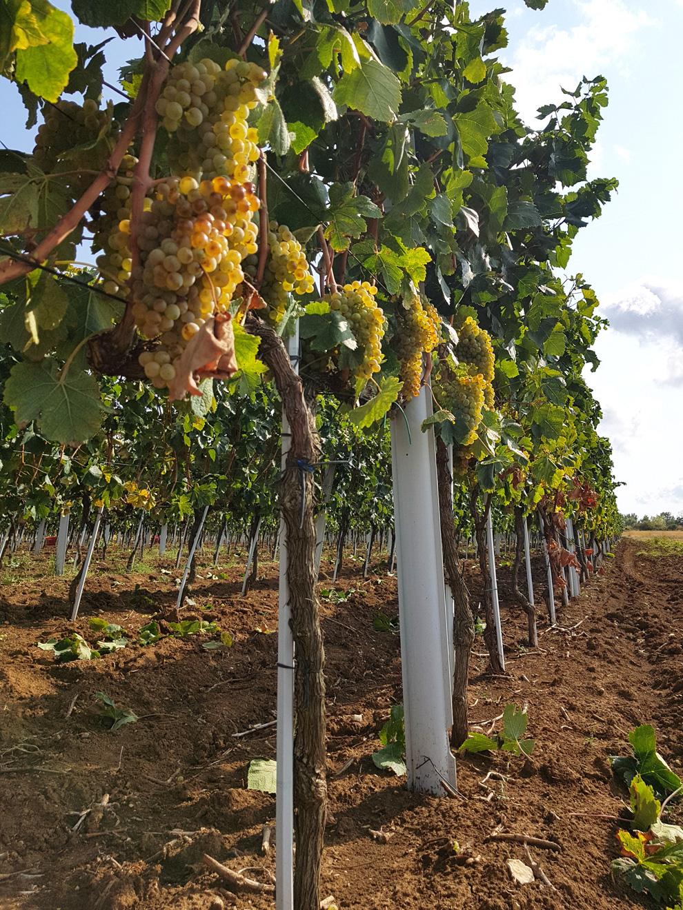 vinarija jokić hrvatska vina organska proizvodnja