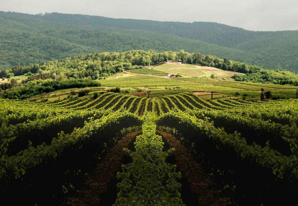 vinarija kutjevo vinogradi i vinova loza