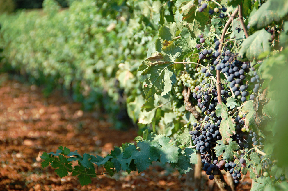 manastir tvrdoš zasadi vinove loze