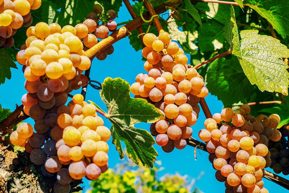 organska proizvodnja vina u svetu i kod nas