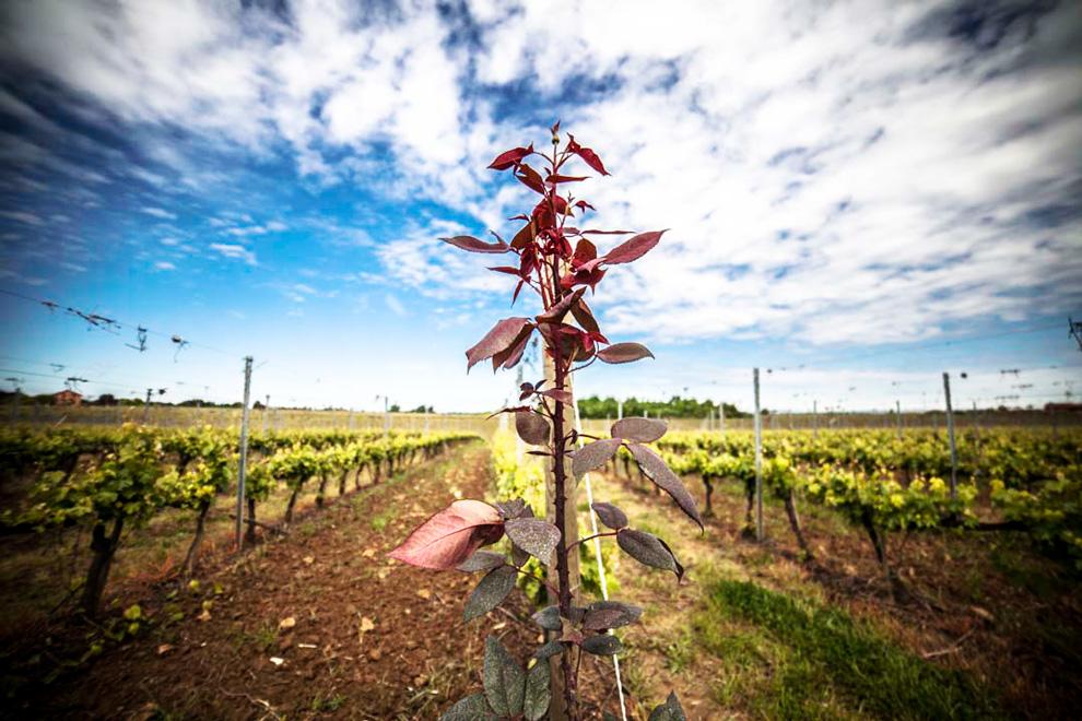vinogradi italijanska vinarija pico maccario
