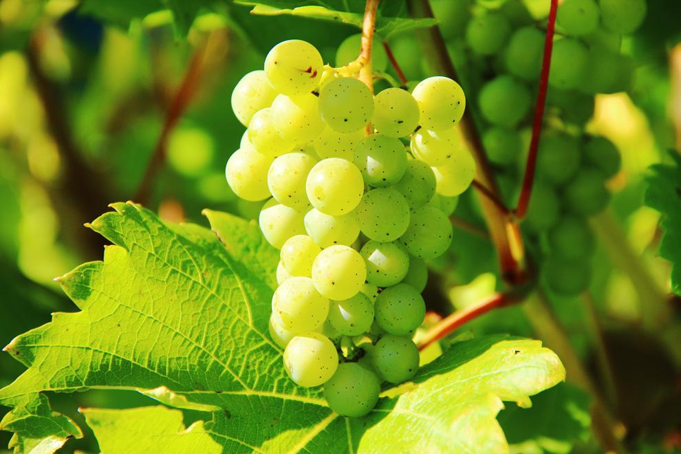 grožđe sovinjon blank