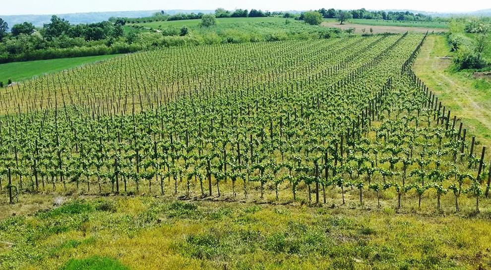 vinarija veličković proizvodnja vina