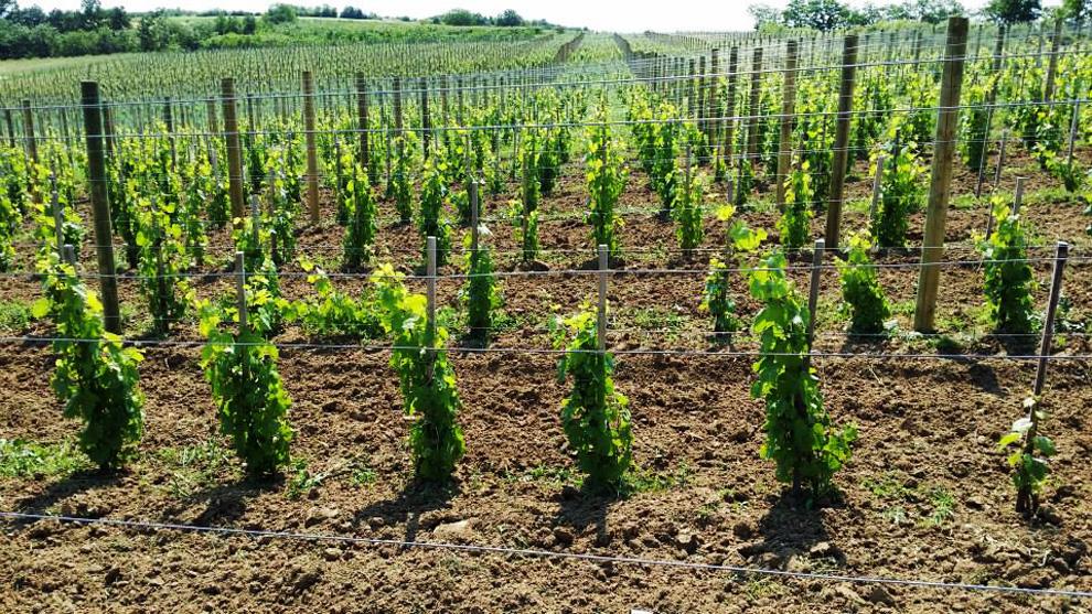 vinarija veličković zasadi vinove loze
