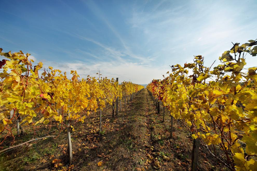 vinis vinarija vinogradi