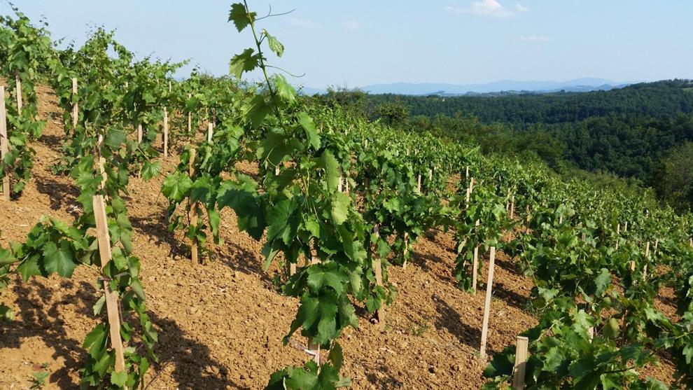 vinogradi podruma cokot