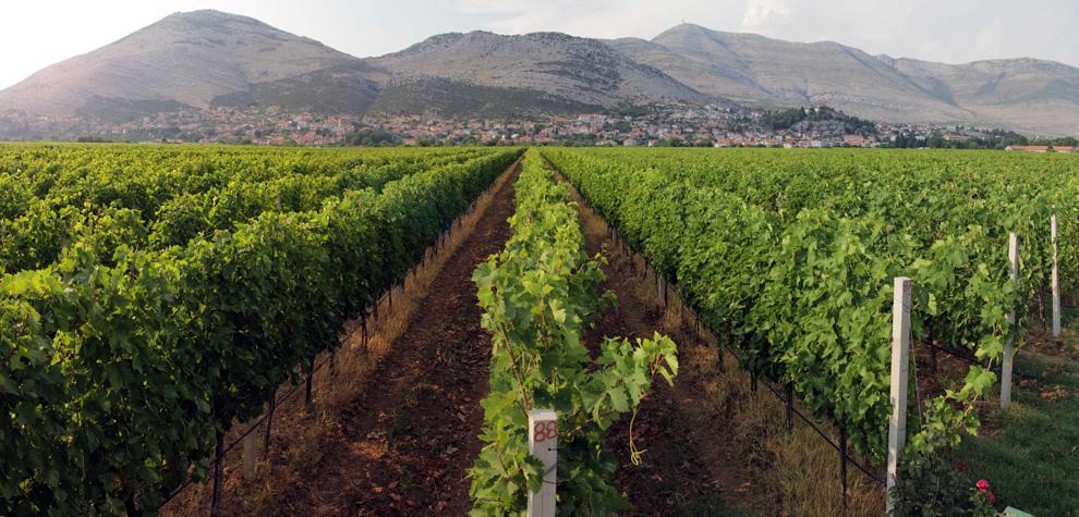 vinogradi zasad polja