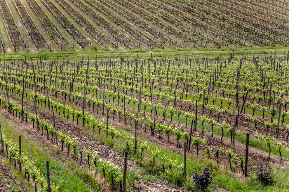 vinogradi i vinova loza pico maccario