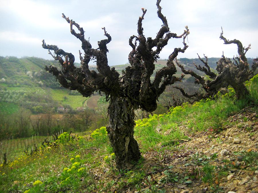 budimir-vinograd